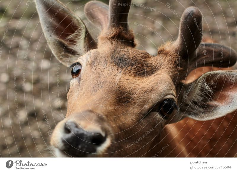 Fallow deer looks into the camera. Close up fallow deer Wild animal Looking peer hungry Animal Animal portrait Pelt Nature Animal face Looking into the camera
