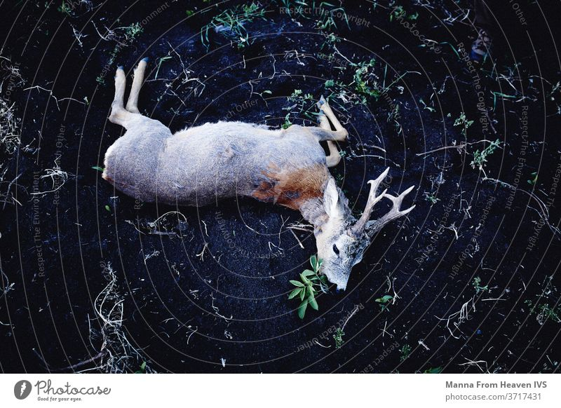 Deer shot by hunter in Transylvania game hunting dead animal trophy antlers Wild animal nature wildlife romania