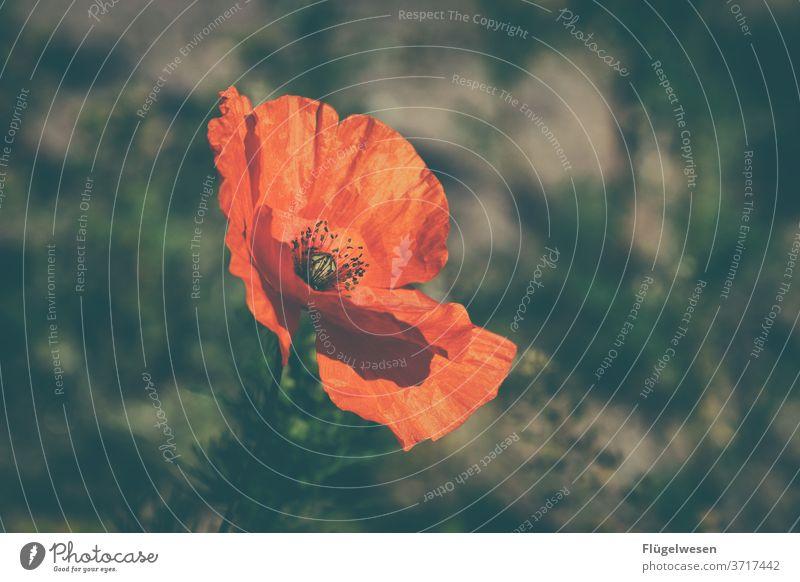 poppy Poppy Poppy blossom Poppy field Poppy capsule poppies Poppy leaf poppy flower poppy meadow poppy bud