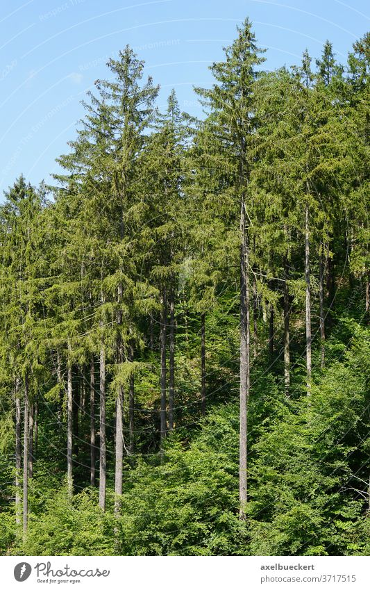 european spruce trees or picea abies conifer coniferous forest fir woods softwood pine woodland wooded mountain forestry botany ecology environment boreal