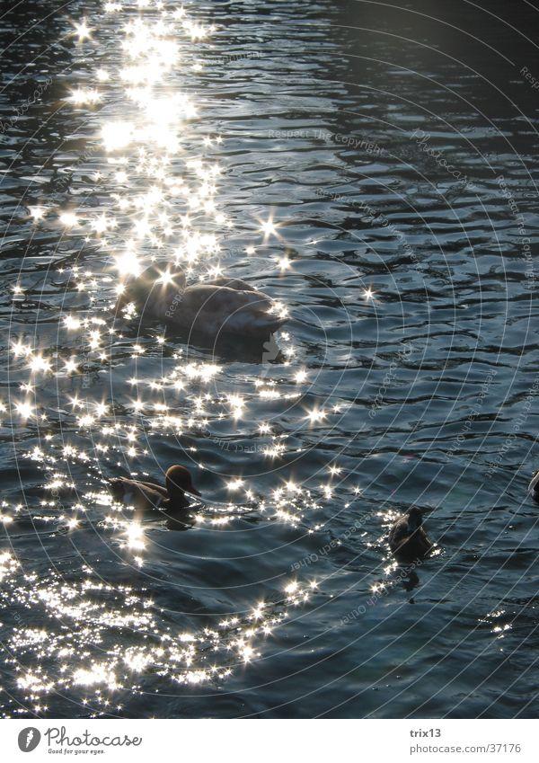 Water Beautiful Sun Calm Animal Glittering Duck Swan