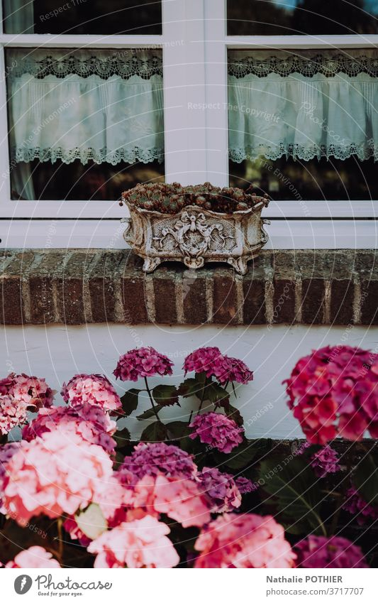 Window border planter with curtains and hydrangeas flower pot window house summer lifestyles old fashion vintage retro pink tile House (Residential Structure)