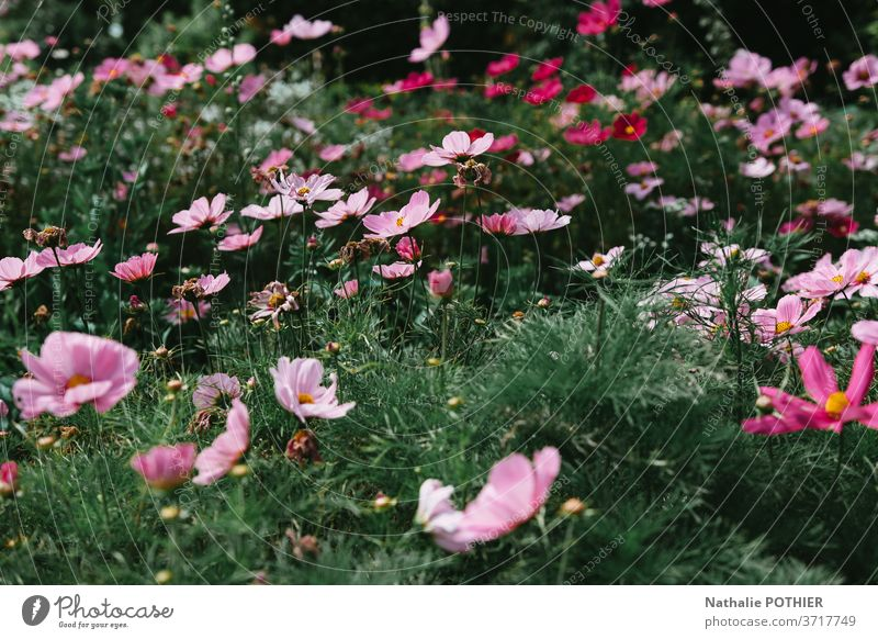 Flower bed pink cosmos in the garden in sumer flower bed vivid colourful purple tranquil violet bloom summertime flowers tone many blossom Blossoming Spring