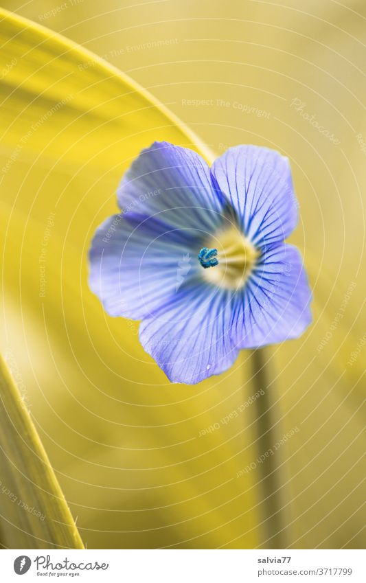 pale blue of a linseed blossom bleed Flax Flax Flower Nature flowers Plant Blue Shallow depth of field Agricultural crop Delicate Blossoming Summer Colour photo