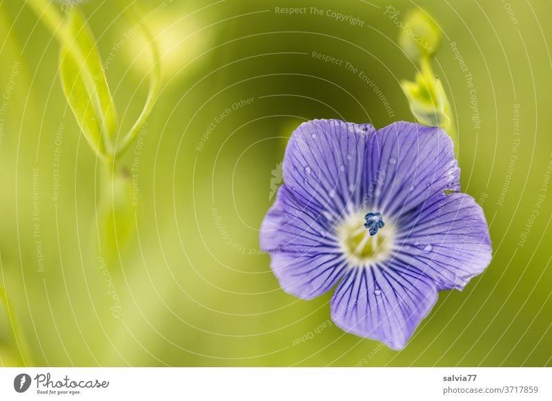 Close up of a flax flower Blossom Nature Flax Agricultural crop Plant Blue Green Summer Blossoming Fragrance Flower Delicate Fine pretty Esthetic Growth