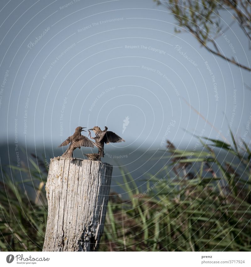 Stare Starling birds Bodden Colour photo Deserted Nature Environment Wild animal two Funny communication Judder