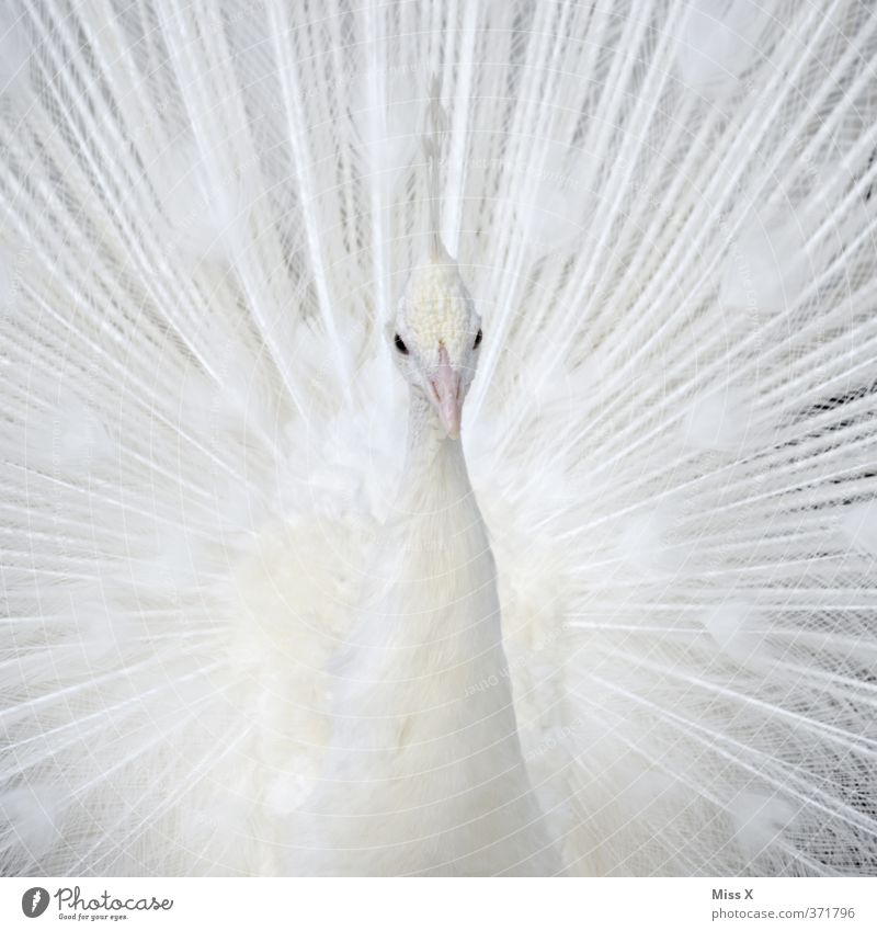 white peacock Animal Bird 1 Beautiful White Pride Conceited Pure Peacock Albino Peacock feather Colour photo Close-up Detail Pattern Deserted Copy Space left