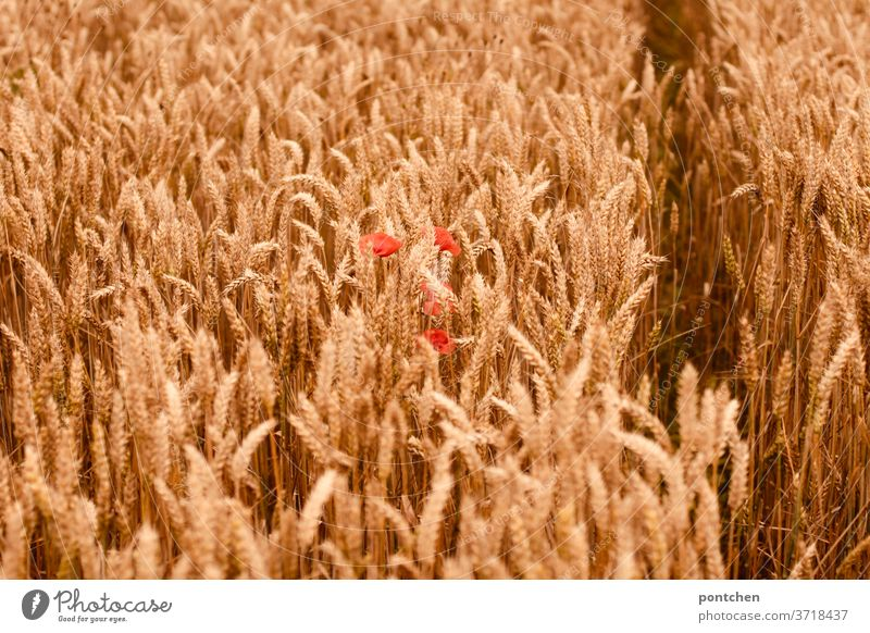 A cornfield with poppies in summer. Agriculture Cornfield Grain Barley Wheat Ear of corn Grain ears Summer Nature Grain field Field Agricultural crop Nutrition