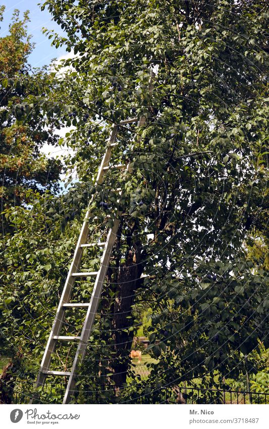 plum harvest tree Harvest Plant Pick fruit Fruity in the country Garden Organic farming Organic produce fruit grower aluminium ladder Ladder