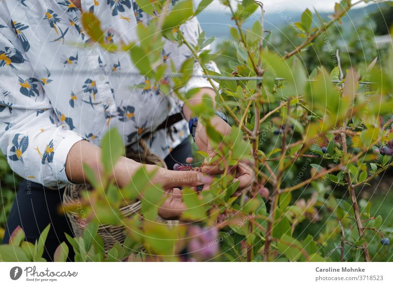 Woman picking elderberries Garden Summer Nature Plant bleed flowers Exterior shot Colour photo Day Environment peasants Gardening Blossoming flaked Close-up