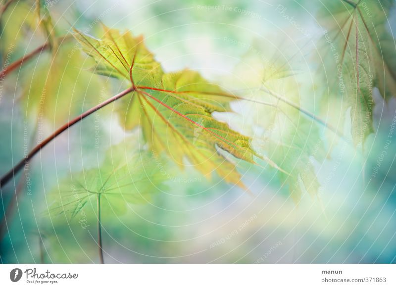 always towards the light Nature Spring Summer Autumn Plant Tree Leaf Maple leaf Maple tree Maple branch Twigs and branches Fantastic Bright Natural Positive