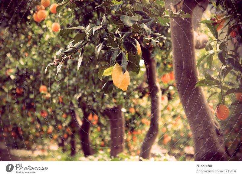 Mediterranean Garden Fruits II Nature Sun Summer Warmth Lemon Lemon tree Citrus fruits Majorca Plantation Sour vintage colours Retro Colours Colour photo