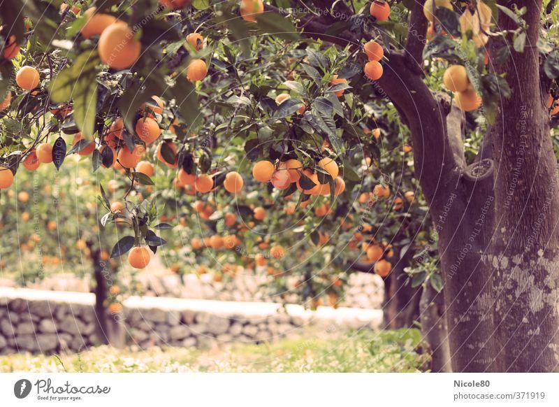 Environment Warmth Garden Fruit Orange Tree trunk Mature Spain Tire Vintage South Majorca Horticulture Plantation Fruit trees Retro Colours