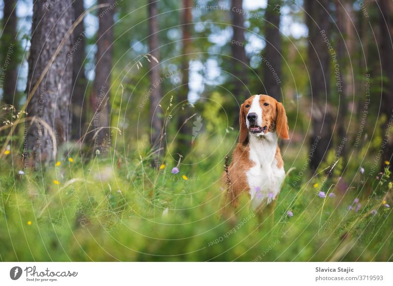 Portrait of a beautiful mixed bread dog sitting among grass and  flowers on summer sunny day, selective focus adorable animal background breed brown canine