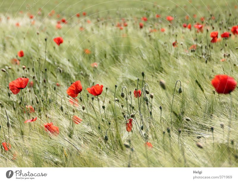 summery... Environment Nature Landscape Plant Summer Beautiful weather Flower Blossom Agricultural crop Wild plant Poppy Poppy blossom Cornfield Barley