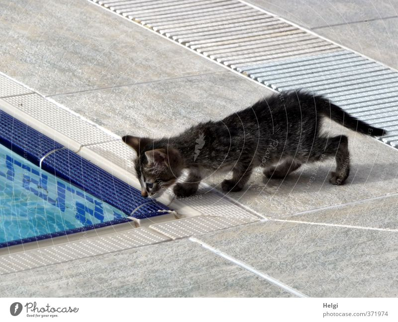 I'm gonna take a look at that animal. Animal Pet Cat 1 Baby animal Swimming pool Tile Looking Stand Esthetic Exceptional Small Cute Blue Gray Black White