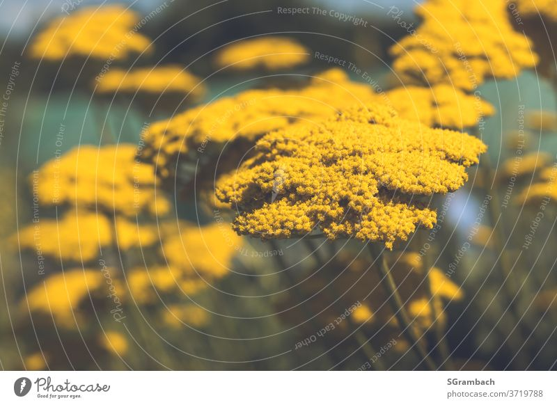Golden yarrow, yarrow yellow Yarrow Daisy Family composite Garden plants Meadow flower bleed Colour photo Flower meadow Blossoming Plant Nature Summer flowers