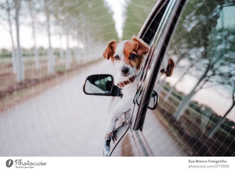 cute small jack russell dog in a car watching by the window. Ready to travel. Traveling with pets concept outdoors fun drive auto obedient purebred tourism