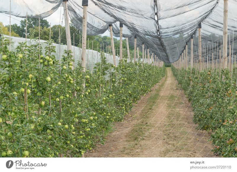 Apple plantation with a net for protection apples apple trees Plantation orchard Net Protection Apple harvest Apple tree fruit green Harvest Nutrition Healthy