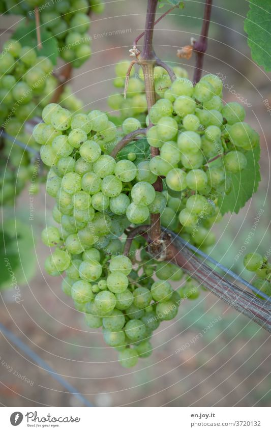 green grapes on the vine Vine Bunch of grapes wax Reading Grape harvest Wine growing viticulture Plant ecologic Organic farming Agriculture Agricultural crop