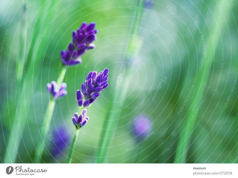 lavender Nature Summer Plant Bushes Blossom Lavender Fragrance Natural Violet Colour photo Exterior shot Deserted Copy Space right Contrast