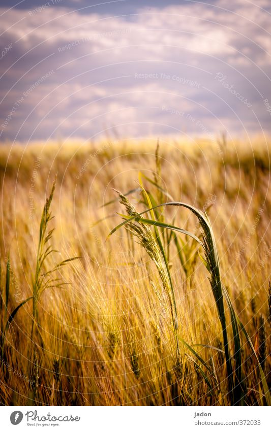 summer. Grain Landscape Plant Sky Clouds Summer Warmth Grass Agricultural crop Field Warm-heartedness Growth Grain field Cornfield Hot Copy Space top Day