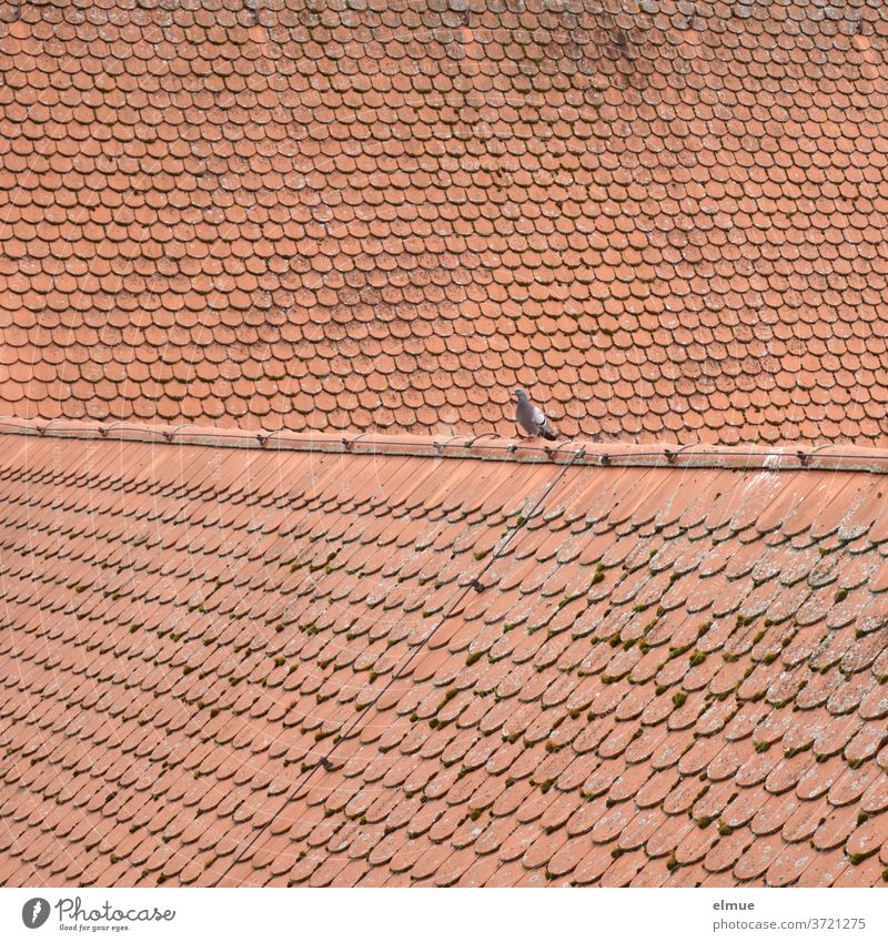 Better the dove on the roof than no bird at all Pigeon birds Roof Tiled roof Red Roof shingle plain tile House (Residential Structure) Roofing tile built