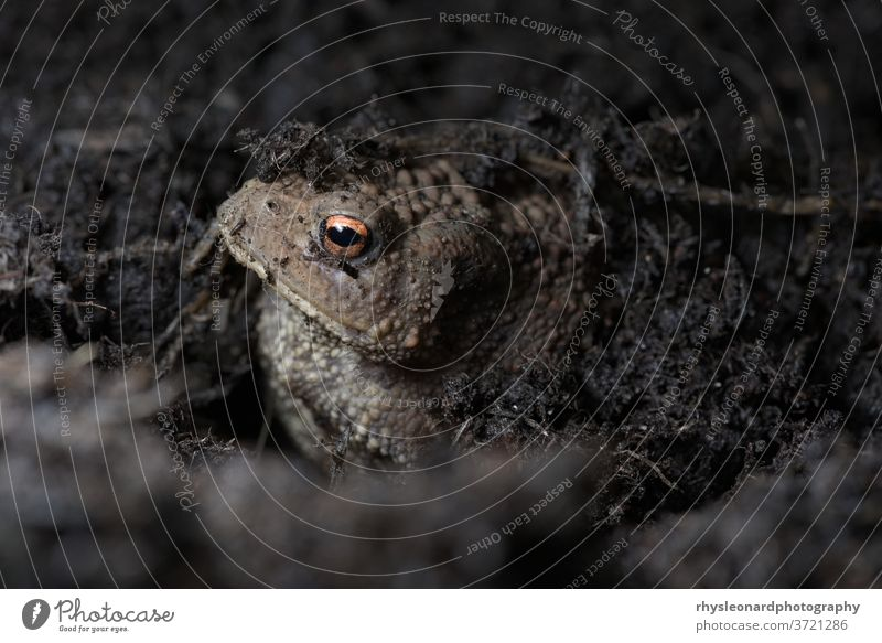 Central, Common toad hides under compost, exposes face. Toad hiding muddy orange eye vibrant camouflage natural habitat environment macro close up Copy space