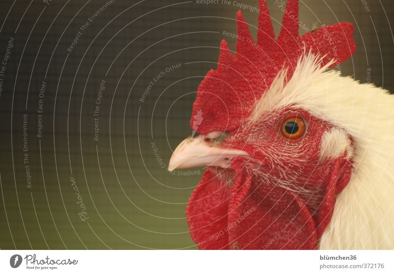 Cockerel Gustav Animal Farm animal Bird Rooster Animal face Head Feather Poultry Observe Looking Esthetic Beautiful Natural Red White Agriculture Pride Beak