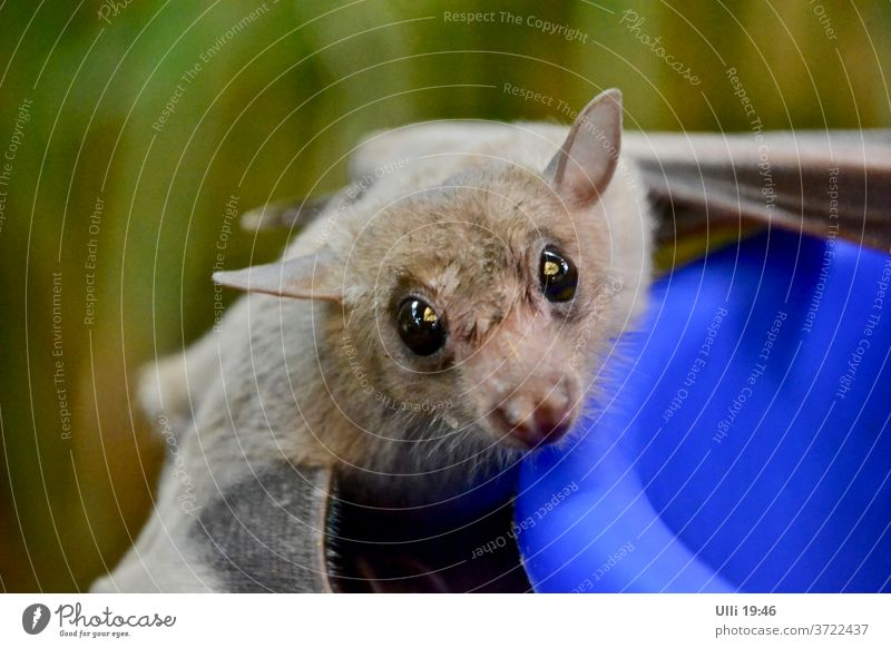 Curious bat. Flying animal Airworthy Bat saucer-eyed inquisitorial hungry