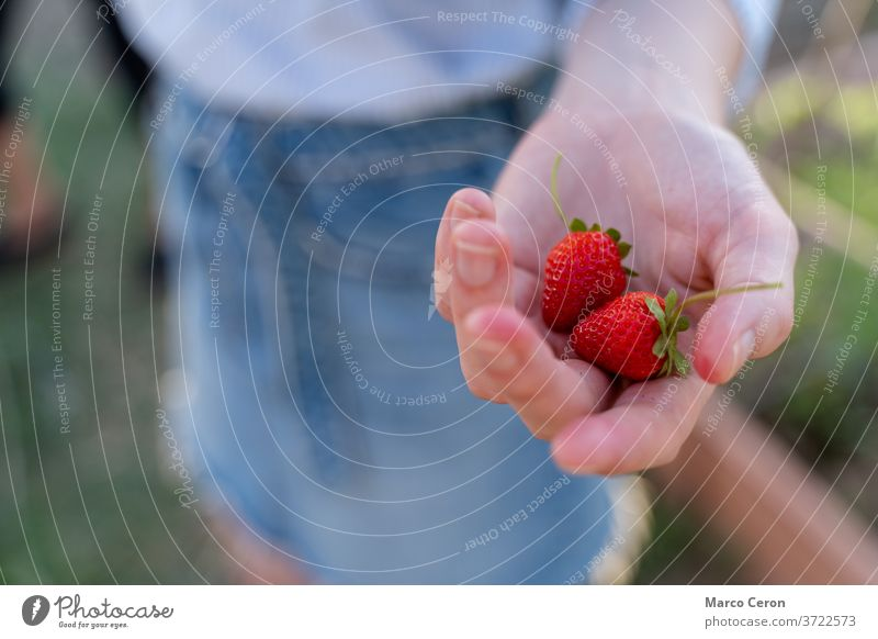 Closeup of a young woman's hand holding a pair of ripe strawberries just picked from its plant in an organic vegetable garden fruit healthy nature red produce