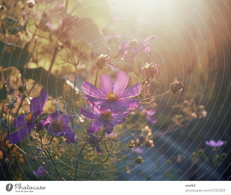 Late flowering Cosmea bleed Ease flowers Blossoming Landscape bushes natural garden flower daylight evening mood luminescent Mysterious Growth Cloudless sky