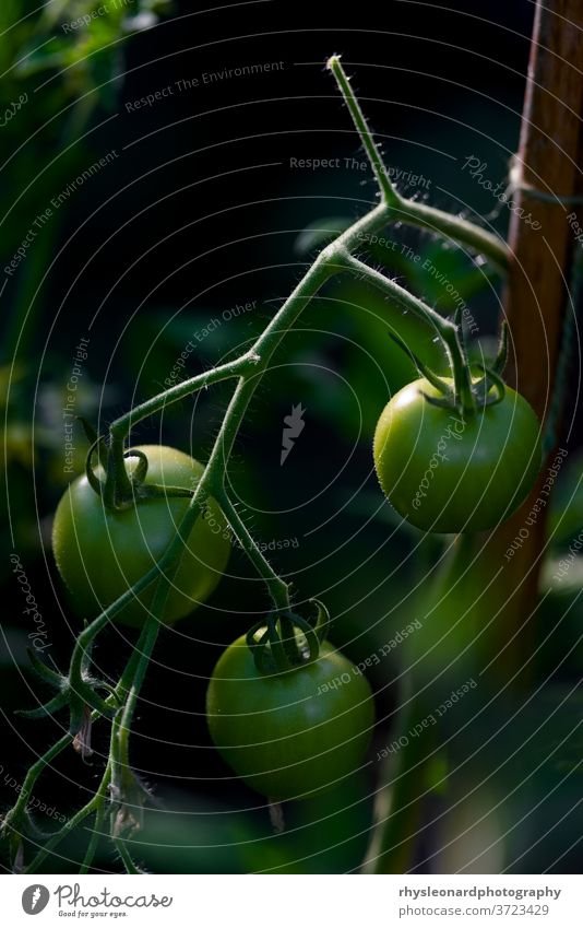 Vertical image of 3 green cherry tomatoes. Strong side and back light. Tomatoes Three vertical background dark rim light golden hour cane bamboo string tethered