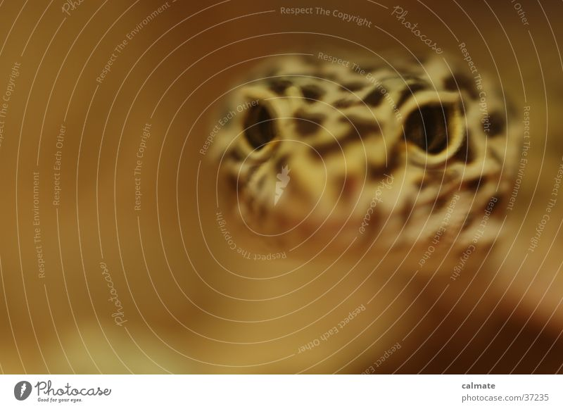 .:Leopard Ecco:. #5 Reptiles Saurians Gekko terarium Sand Eyes