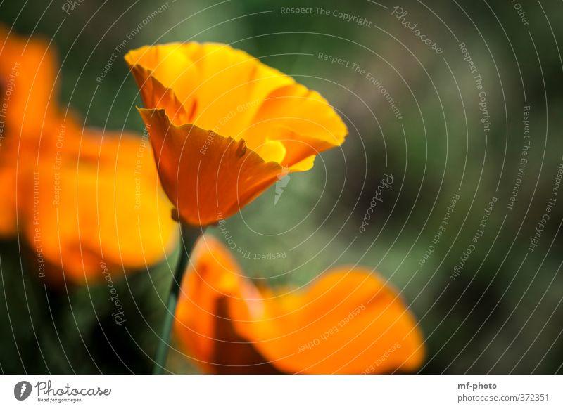 California Poppy Nature Plant Summer Poppy blossom Corn poppy Green Orange Colour photo Deserted