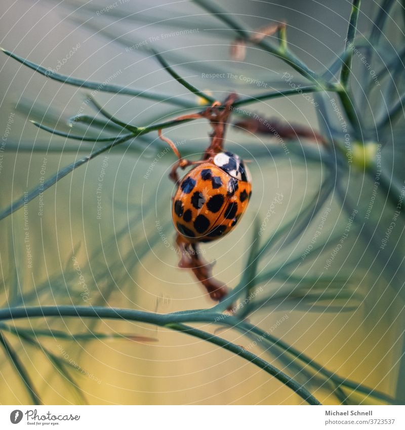 Asian ladybird Ladybird Beetle Insect Orange Close-up Macro (Extreme close-up) Crawl Small luck Nature Colour photo Summer Shallow depth of field