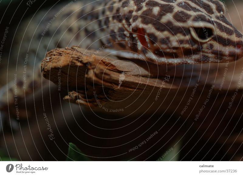 .:Leopard Ecco:. #2 Reptiles Saurians Tree trunk Gekko terarium Branch