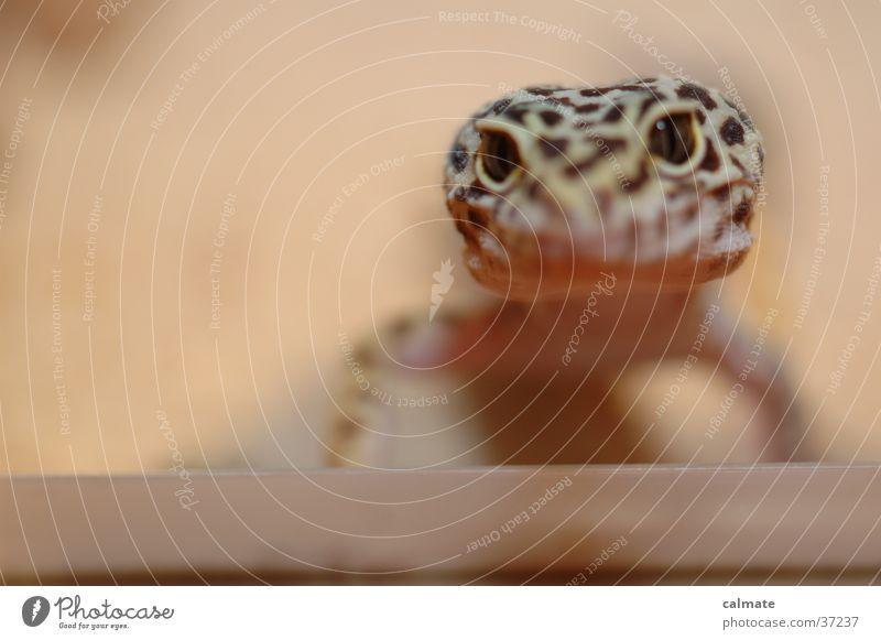 .:Leopard Ecco:. #4 Reptiles Saurians Gekko terarium Sand Eyes