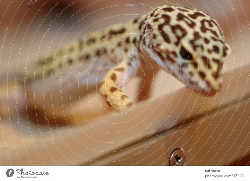.:Leopard Ecco:. #3 Reptiles Saurians Screw Gekko terarium Sand