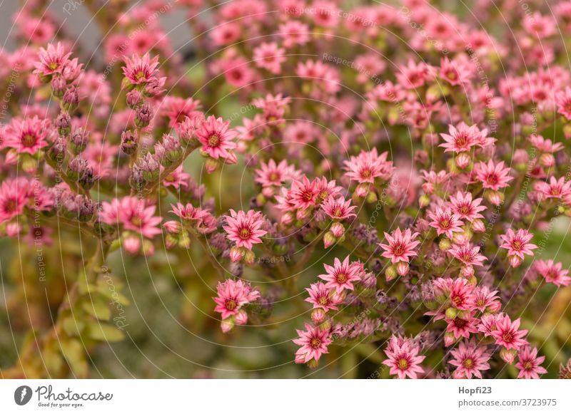 houseleek flowers housewort plants Succulent plants Plant Colour photo green Nature Close-up Decoration Detail already Botany Garden natural succulent