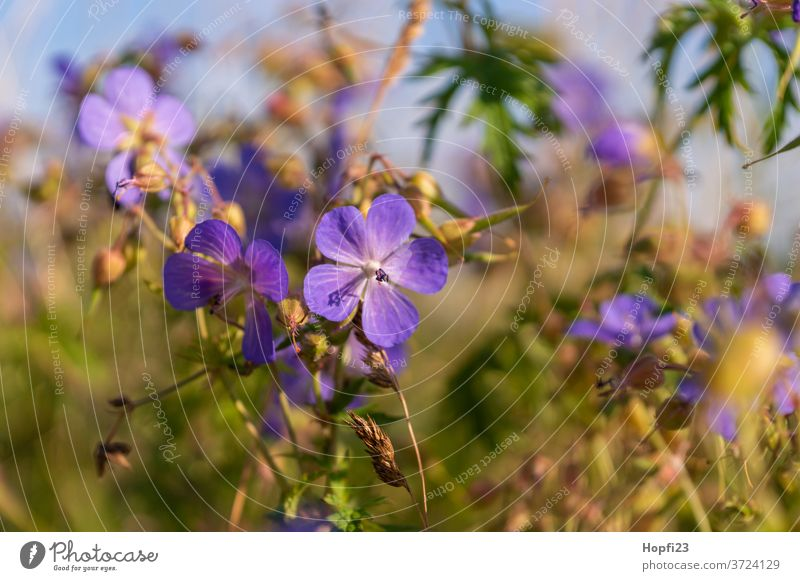 Meadow cranesbill Geranium pratense flowers Plant Nature bleed Exterior shot Colour photo green Shallow depth of field Blossoming Violet Blur Summer Deserted