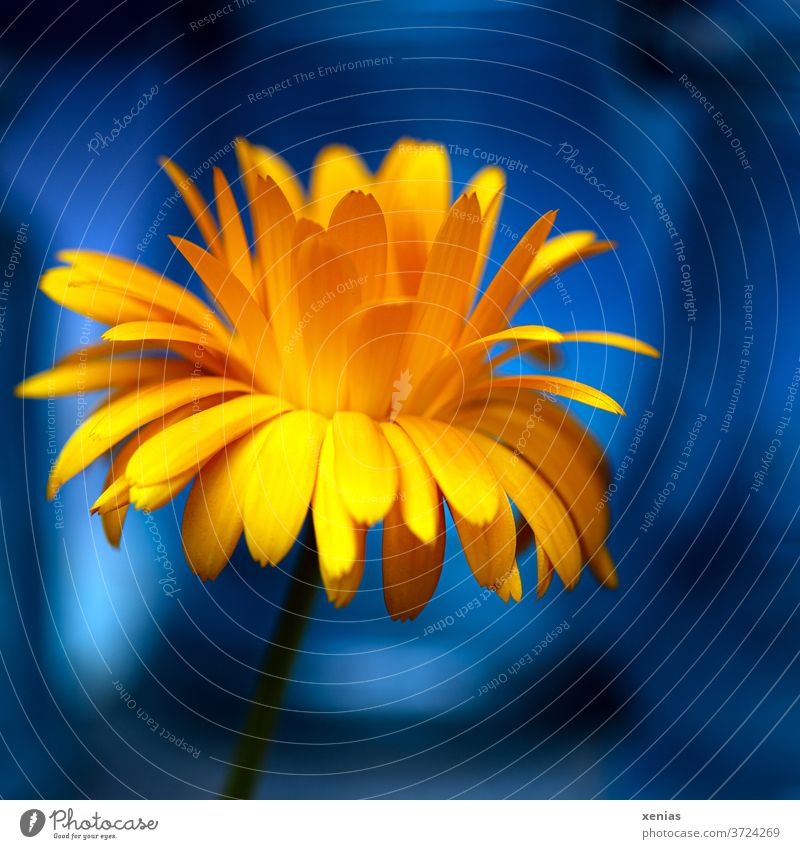 Bright yellow calendula in front of bright blue Marigold Yellow Blue bleed flowers Plant Orange Summer Nature Blossoming Medicinal plant