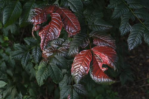 Silver and red dyed green leaves as minimalist land art Öandart Colour Varnish lacquered Nature flaked detail Close-up Autumn natural background Fresh already