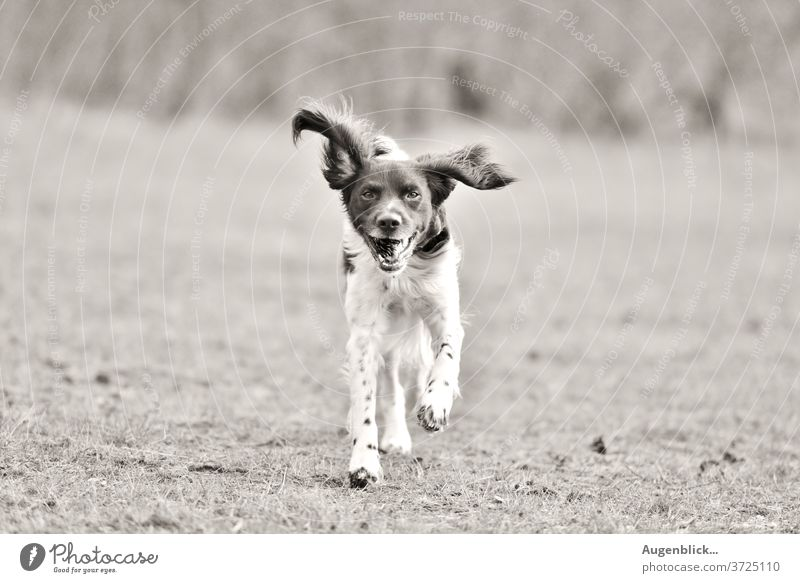 playing dog in the garden happy dog Dog Walk the dog Field To go for a walk flying ears best friend Pelt Pet Animal portrait