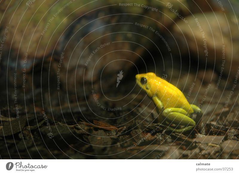 "<font color=""#ffff00"">-==- proudly presents Yellow Transport Frog amphibian leaf brooch Close-up"