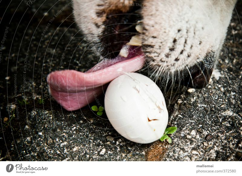 Dog licks an egg Animal Pet Threat Black White Voracious To feed Tongue Egg Lick Set of teeth Nose Thief Theft nest robber egg thief white shepherd dog