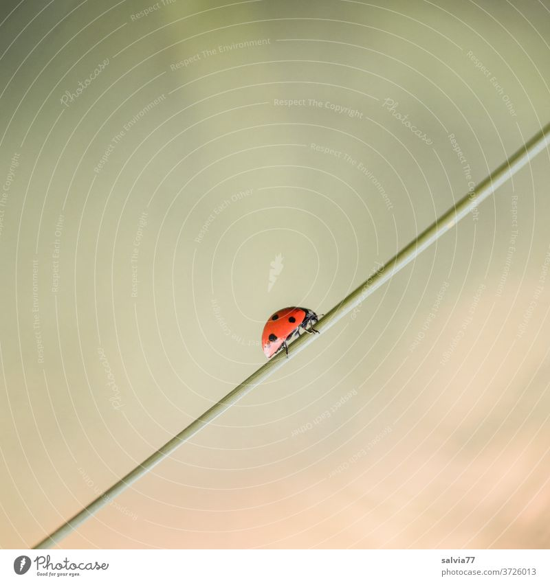 Upward trend | 1500 Ladybird Nature Happy Crawl Macro (Extreme close-up) Beetle Close-up Colour photo Summer Insect Deserted Exterior shot Seven-spot ladybird