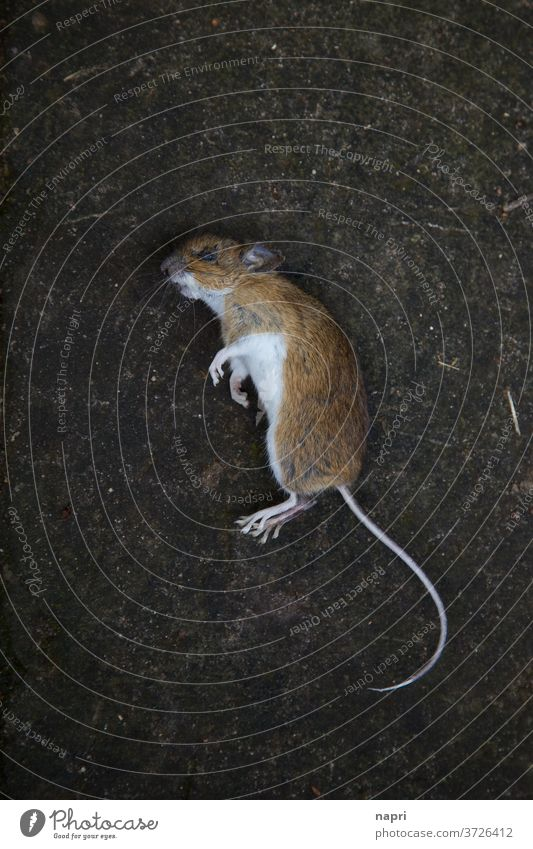 Mausetot |bird's eye view of a dead mouse Mouse Transience Death pass away Frightening phobia Fear Nature's cycle cadaverous Plagues Pests Brown Lie Tumble down
