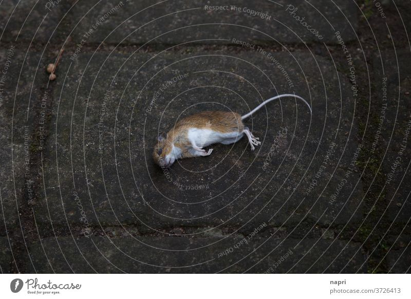 death is always | Dead mouse lies in the middle of the sidewalk Mouse Dead animal dead Death as dead as a doornail cadaverous Transience Nature pass away phobia