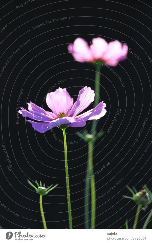 Jewellery baskets - Cosmea Cosmos flowers bleed Summer Blossoming Plant Colour photo Nature Exterior shot Day Sunlight Pink purple dark background